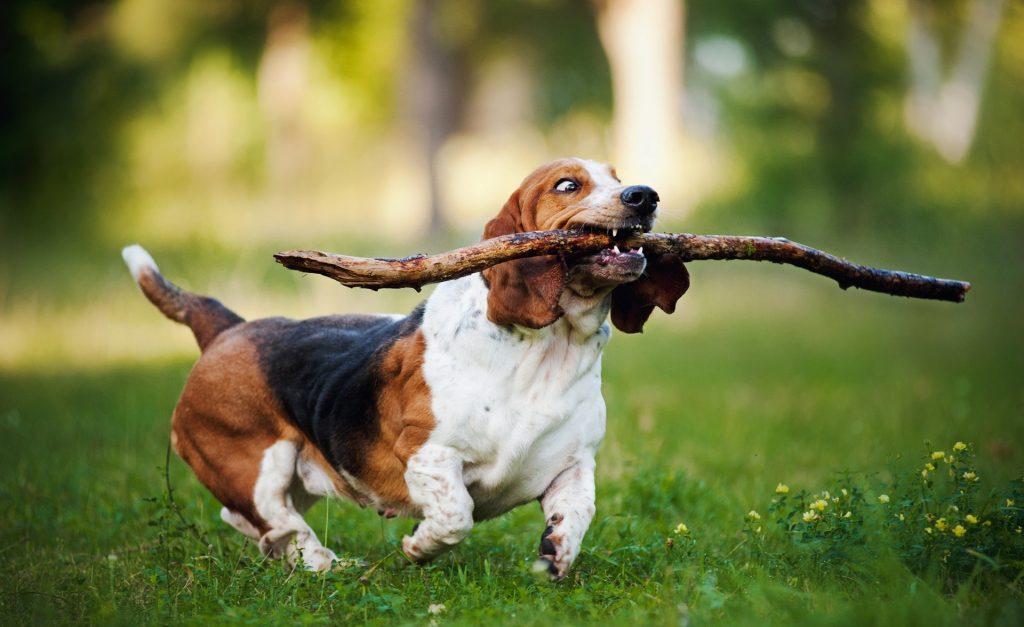 Собака с радостью тащит палку